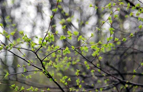 весной распускаются листочки