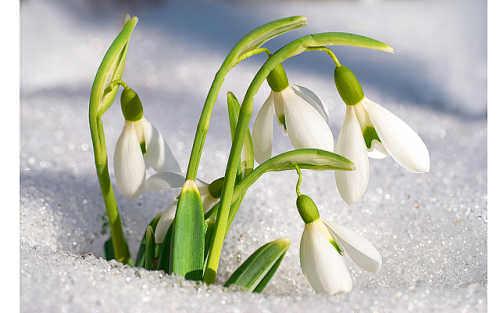 подснежники весной